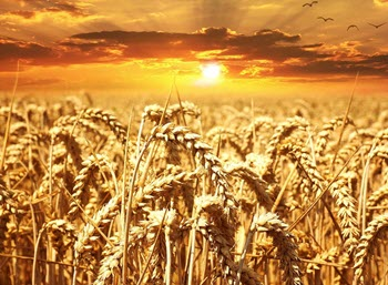 Wheat Commodities - Commodity trading for beginners
